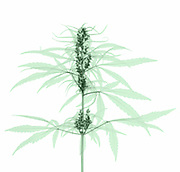An X-Ray of a Cannabis Plant (Cannabis sativa). The plant produces tetrahydrocannabinol (THC), the active component of cannabis when used as a drug.