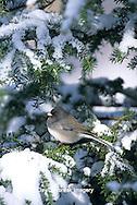 01569-00701 Dark-eyed Junco (Junco hyemalis) in winter, Marion Co.   IL