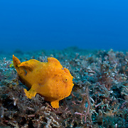 Painted frogfish (Antennarius pictus) in muck environment in Lembeh Strait, North Sulawesi, Indonesia. The frogfish was well camouflaged. Without strobe light to illuminate it, this frogfish would look like just another lump of sponge