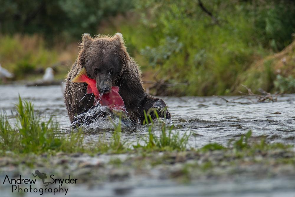 A brown bear (Ursus arctos) with a freshly caught sockeye salmon - Katmai, Alaska