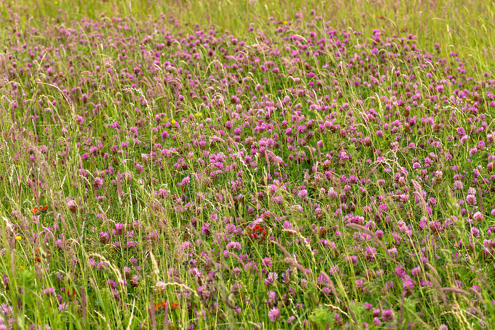 Wild ornamental grasses and Red Clover, Trifolium pratense, in wildflower meadow grassland field in Gloucestershire, UK