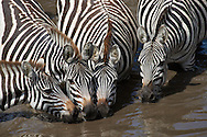 Zebras drinking in stream