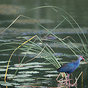 Grey-headed swamphen (Porphyrio poliocephalus) is a species of swamphen It used to be considered a subspecies of the purple swamphen, but was elevated to full species status in 2015.