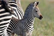 Zebra foal in the South Luangwa National Park..South Luangwa National Park, Zambia, Southern Africa..© Zute & Demelza Lightfoot.www.lightfootphoto.com..