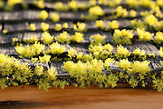 Lichen (possibly Evernia prunastri) growing on a woodened shingled roof in Washington state.
