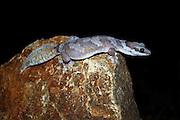 northern velvet gecko (Oedura castelnaui), chillagoe, north queensland