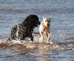 © Licensed to London News Pictures. 28/12/2014. Brook, Isle of Wight, UK. Dogs enjoying a dip in the sea this morning, 28th December 2014, on the Isle of Wight. Temperatures have dropped below 0C, with much of the north of England covered in snow, but the south of England remains sunny today. Photo credit : Rob Arnold/LNP