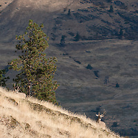 large mule deer bucks in grassy pine dry shrub fall season