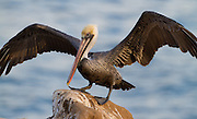 Brown Pelican landing at La Jolla