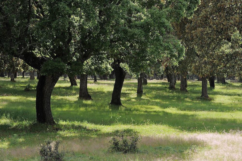 Dehesa forests with <br />  Holm oak (Quercus ilex) used for breeding Iberian pigs, in Salamanca Region, Castilla y Le&oacute;n, Spain