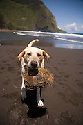 Dog with coconut, Waipio Valley, Island of Hawaii