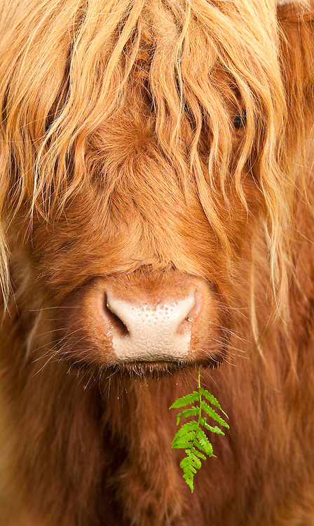 Close up of a Highland cow's face