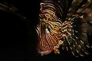 Israel, Eilat, Red Sea, - Underwater night photograph of a radial Lionfish Pterois radiata