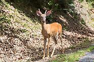 Deer (Stock)