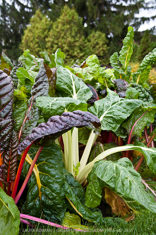 Chard: Bright Lights and Fordhook Giant