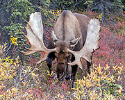 Alaskan bull moose charges at the camera during the rut.