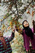 Harvesting Sea Buckthorn berries, Nubra valley.