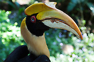 Hornbills Bucerotidae are a family of bird found in tropical and subtropical Asia and Africa. They are characterized by a long bill which is usually brightly colored and sometimes has a casque on the upper beak. Both the common English and the scientific name of the family refer to the shape of the bill. The birds are omnivorous, feeding on fruit and small animals.  Certain hornbill are threatened with extinction.