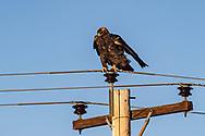 Golden Eagle in southern North Dakota on Wednesday, Jan. 17, 2018.