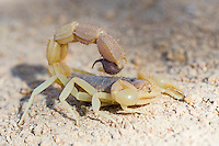 Parabuthid Scorpion, Namaqua National Park, Northern Cape, South Africa,