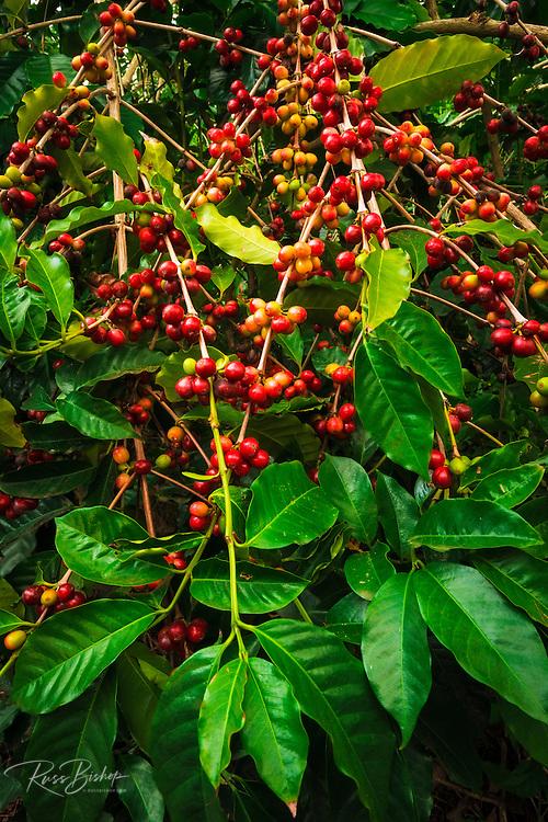 Red Kona coffee cherries on the vine, Captain Cook, The Big Island, Hawaii USA