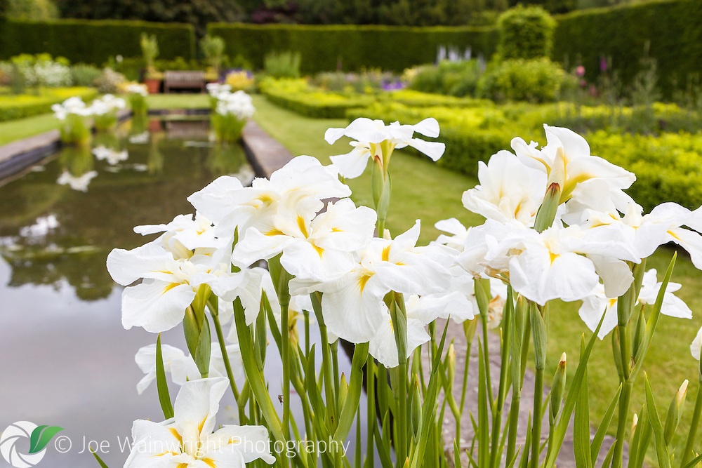 Irises bloom in the Pool Garden at Abbeywood Gardens, Cheshire.