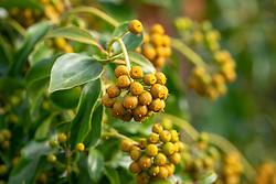 Hedera helix f. poetarum. Poet's ivy. Showing amber winter colouring of berries.