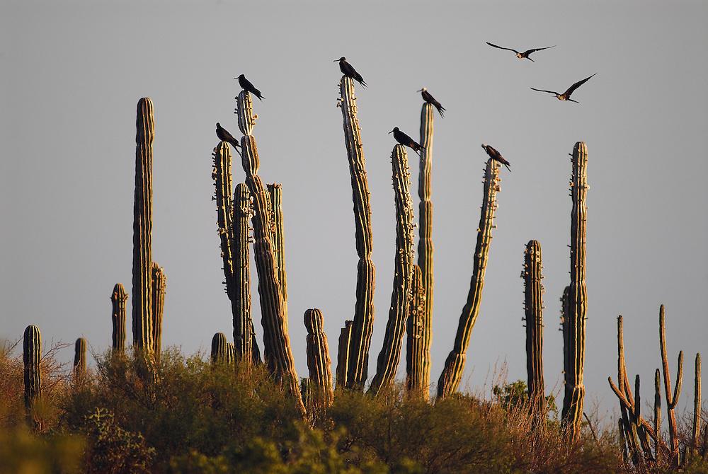 Magnificent Frigatebirds, (Fregata magnificens), Bahia Conception, Baja California Sur, Mexico