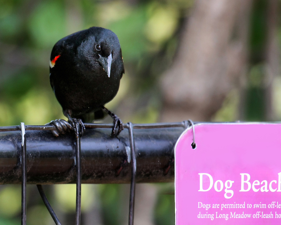There is some controversy with the Dog Beach. The little lake where it's located also is home for many wild life species, which they attempt to share with the dogs. Some have called for its elimination. This red winged black bird is neutral on the subject.