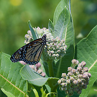 Monarch butterfly  (Danaus plexippus) feeding on a Common Milkweed flower ( Asclepias syriaca)