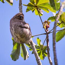 Preguiça-comum (Bradypus variegatus) fotografado na Reserva Biológica de Sooretama em Linhares, Espírito Santo, Brasil. Registro feito em 2013 <br /> <br /> ENGLISH: Brown-throated sloth photographed in Sooretama Biological Reserve in Linhares, Espírito Santo, Brazil. Picture made in 2013.