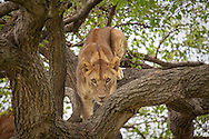 A young lion crouches in a tree in the Serengeti National Park. The park is a UNESCO World Heritage Site in Tanzania.