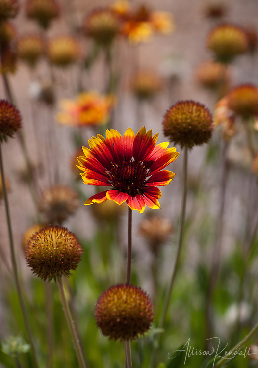 Red and yellow round flowers fill a meadow with bright colors and pincushion shapes