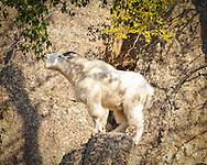Rocky Mountain Goat having a Snack
