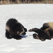 Wolverine kits playing together in snow during early spring. Rocky Mountains of Montana, Captive Animal