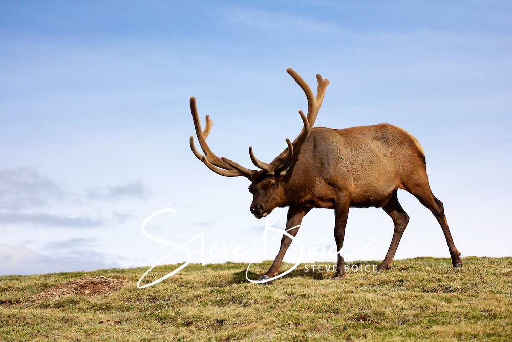 Bull elk on tundra in Rocky Mountain National Park, Colorado