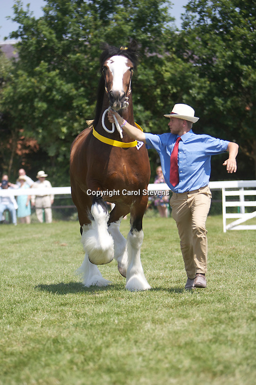 Paul Bedford's 5 year old bay gelding  Buzz<br /> handled by Matthew Bedford<br /> Winner  Gelding 4 year old and over class