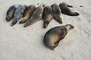Galapagos Sea Lions (Zalophus wollebaeki)  on Beach<br /> Santa Fe<br /> GALAPAGOS<br /> Ecuador, South America<br /> Endemic