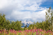Fireweed, Grand Tetons, wildflowers of Grand Teton National Park