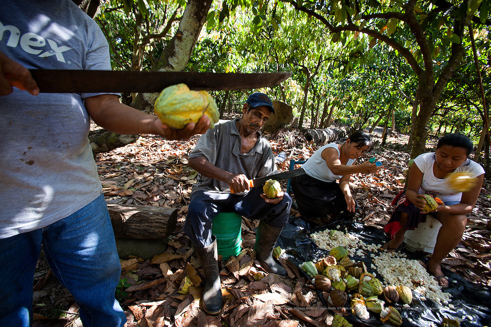 Underneath the shade of a tree the farmers starts the quiebra, the process of cutting open the pods to extract the cocoa beans. The pods contain up to 40 beans of the size of an almond. The cocoa grown by the farmers who belong to the Maya Network of Organic Organisations is free from agro-chemicals. Mazatán, Mexico.