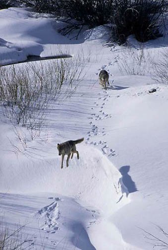 Gray Wolf, (Canis lupus) Pair running in snow. Rocky mountains. Montana.Winter. Captive Animal.