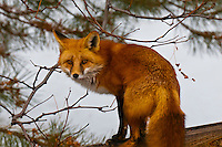 Red fox, Littleton, Colorado USA