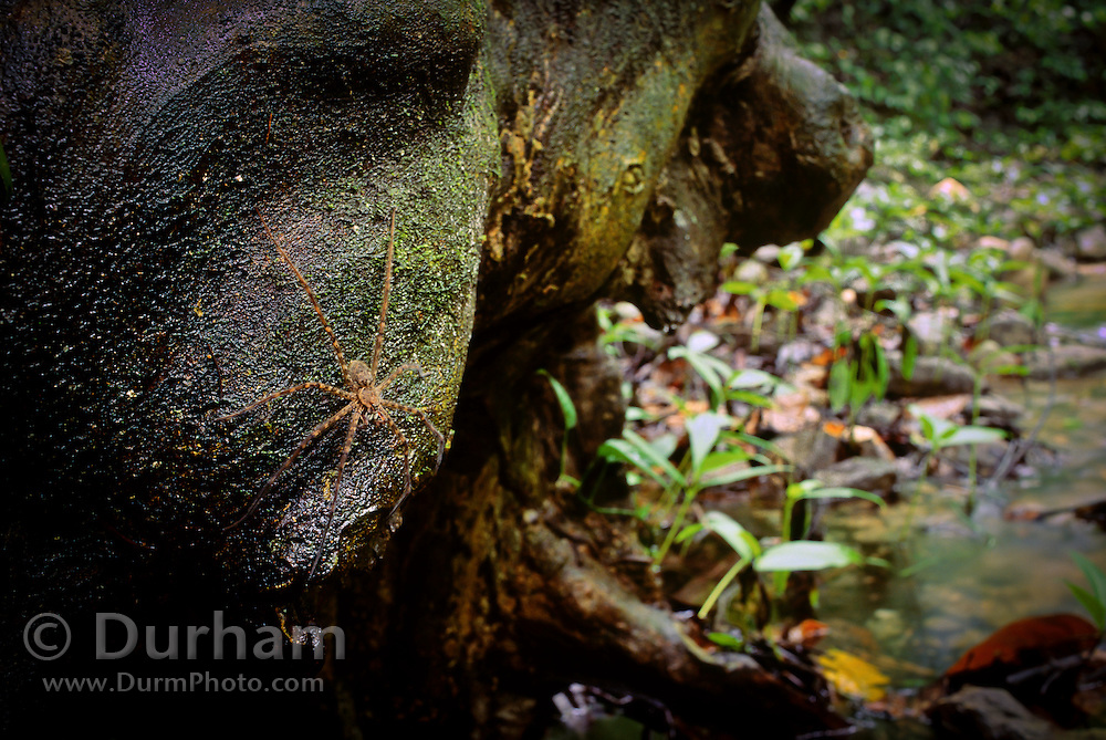 A tropical huntsman spider (Heteropoda venatoria) on the buttress of a tree over a stream. Rainforest on the slope of the Orosi Volcano, Costa Rica.