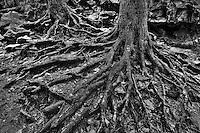 Exposed roots of trees.  Washington Cascades.