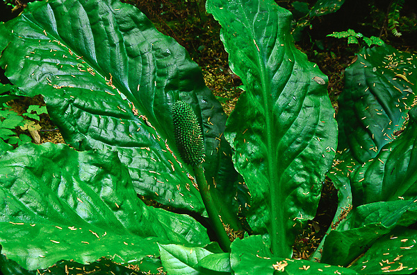 Large green leaves of a Skunk Cabbage (Lysichiton americanum).  ound along the Kalaloch Nature Trail.  Olympic National Park, Washington.