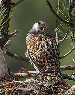 Nestling red-tailed hawk on nest in ponderosa pine tree looking curiously with head tilted. © 2011 David A. Ponton [Prints to 8x10, 16x20, 20x24 or 24x36 in. with no cropping]