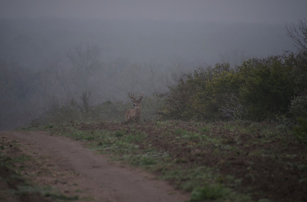 White-tailed Deer, Odocoileus virginianus;<br /> Photographer: Debbie K. Harville<br /> Property: Harville Ranch / James A. Harville<br /> Duval County