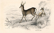 Roe Deer (Capreolus capreolus), Eurasian species of deer. From 'British Quadrupeds', W MacGillivray, (Edinburgh, 1828), one of the volumes in William Jardine's Naturalist's Library series. Hand-coloured engraving.