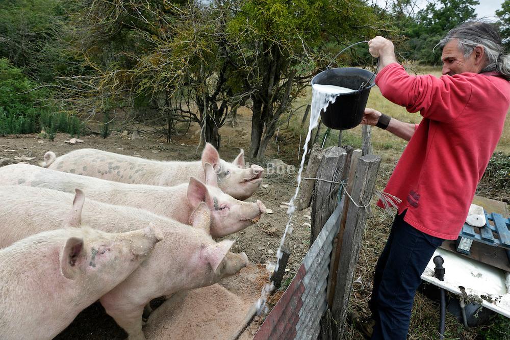 bio farming poring whey in the trough for feeding the free range pigs