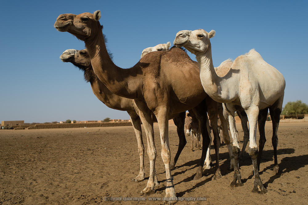 Camels near a well in the town of Bassikounou, Mauritania on 7 March 2013.